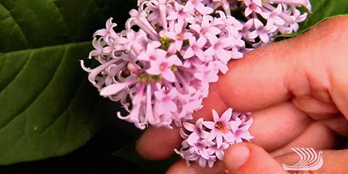 Hand holding Russian lilacs